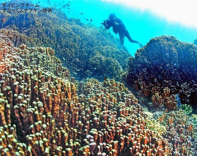 海底から10メートル以上にそそり立つアオサンゴの大群落。沖縄本島内では最大級という(すなっくスナフキン提供)