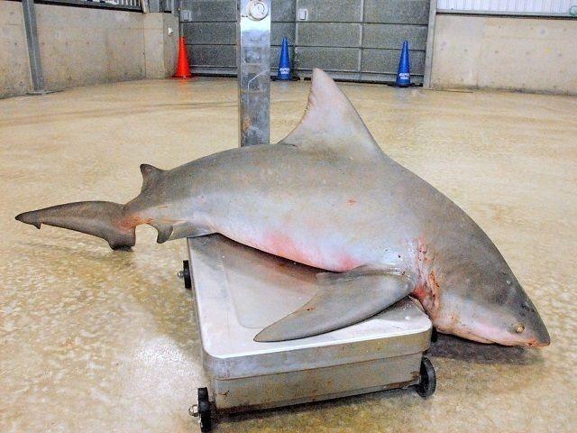 宜野湾ビーチ、遊泳再開!サメ騒動