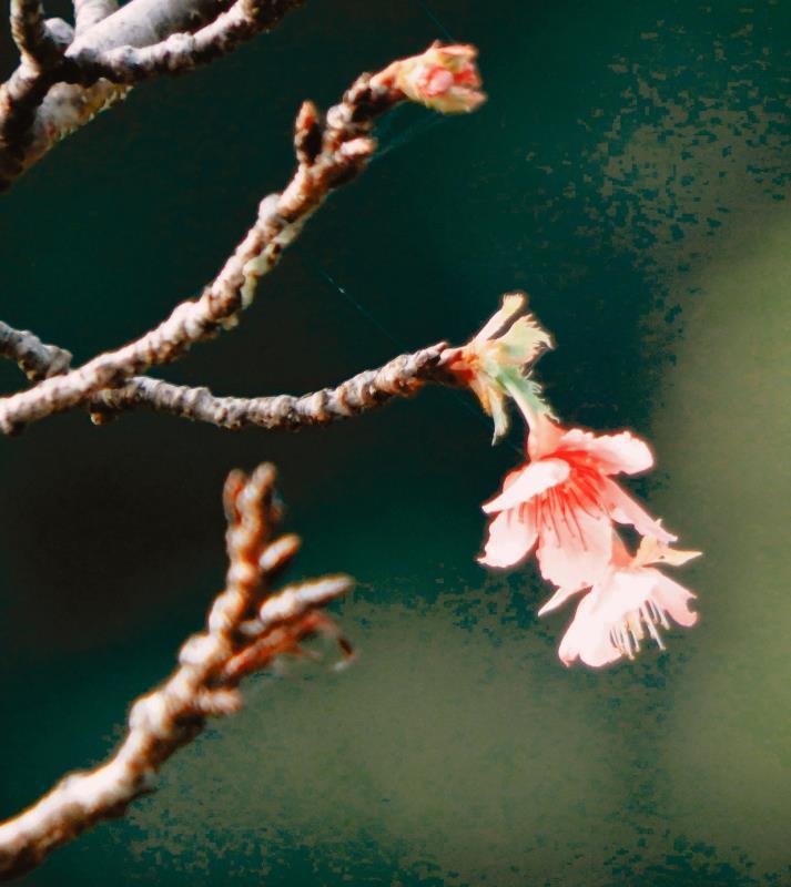 深まる冬、沖縄でほころぶサクラ 名護「うふまた」